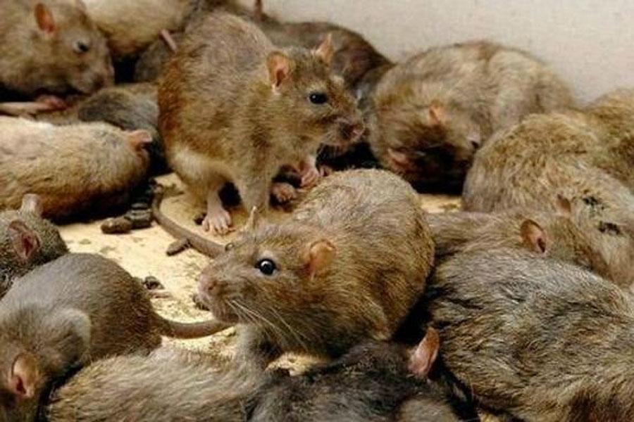 Disinfestazione topi